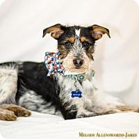 Adopt A Pet :: Seamus - West Orange, NJ