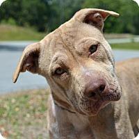 Adopt A Pet :: 10310589 LADY GAGA - Brooksville, FL