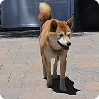 Shiba Inu Dog for adoption in Los Alamitos, California - Kiko