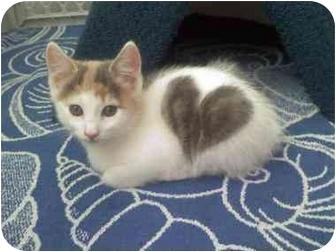Calico Kitten for adoption in Howell, New Jersey - LoveBug