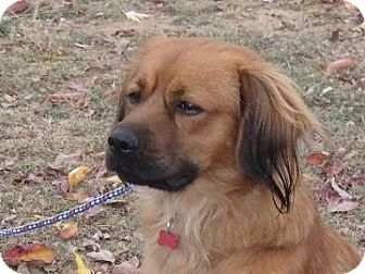 Golden Retriever/Setter (Unknown Type) Mix Dog for adoption in Bedford, Virginia - Buddy