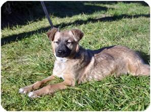 German Shepherd Dog/Labrador Retriever Mix Puppy for adoption in El Cajon, California - KIRA, loving pup!
