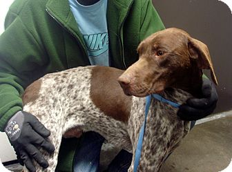 German Shorthaired Pointer Dog for adoption in Greencastle, North Carolina - Cole