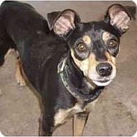 Adopt A Pet :: Lainey - Phoenix, AZ