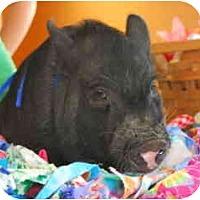 Adopt A Pet :: Tubbalove - Las Vegas, NV