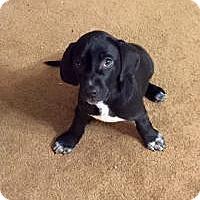 Adopt A Pet :: Layla - Marlton, NJ