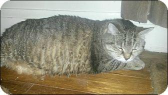 Domestic Mediumhair Cat for adoption in Brampton, Ontario - Princess