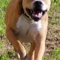 Adopt A Pet :: Baxter - Denton, TX