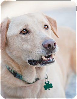 Labrador Retriever Mix Dog for adoption in Brattleboro, Vermont - Oliver