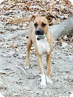 Boxer Mix Dog for adoption in Goodlettsville, Tennessee - Venus
