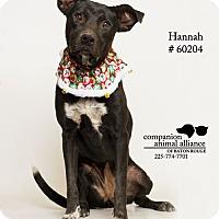 Terrier (Unknown Type, Medium)/Labrador Retriever Mix Dog for adoption in Baton Rouge, Louisiana - Hannah  (Foster Care)