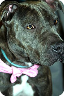 American Pit Bull Terrier/Shar Pei Mix Dog for adoption in San Diego, California - Wiggles