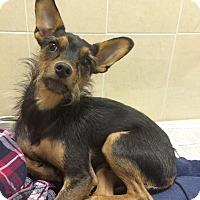 Adopt A Pet :: Carey - New York, NY