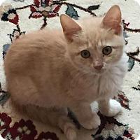 Adopt A Pet :: Fluff - East Hanover, NJ