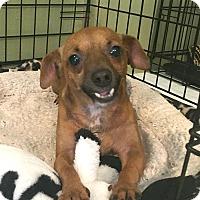 Chihuahua/Dachshund Mix Dog for adoption in San Antonio, Texas - Sasha
