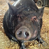 Adopt A Pet :: Daisy - Bruce Township, MI