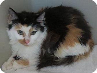 Domestic Longhair Cat for adoption in Lincolnton, North Carolina - Jingle Bell