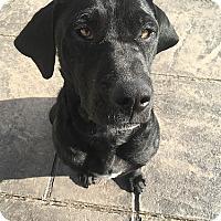 Adopt A Pet :: Melody - Yorktown, VA