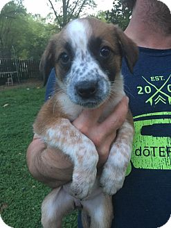 Shepherd (Unknown Type)/Pointer Mix Puppy for adoption in Glastonbury, Connecticut - Fancy~adopted!