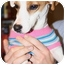 Photo 1 - Jack Russell Terrier Dog for adoption in Arkansas City, Texas - Jalepeno in Arkansas