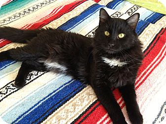 Domestic Mediumhair Cat for adoption in Weatherford, Texas - Antonio