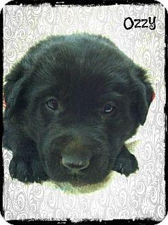 German Shepherd Dog/Labrador Retriever Mix Puppy for adoption in Cranford, New Jersey - Ozzy