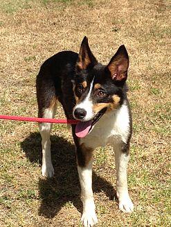 Border Collie Mix Dog for adoption in San Pedro, California - DINO