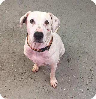 Labrador Retriever Mix Dog for adoption in Phoenix, Arizona - Wilma