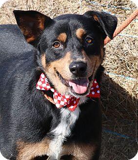 Rottweiler/German Shepherd Dog Mix Dog for adoption in Pluckemin, New Jersey - Elvis