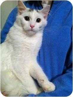 American Shorthair Kitten for adoption in Simpsonville, South Carolina - Mister