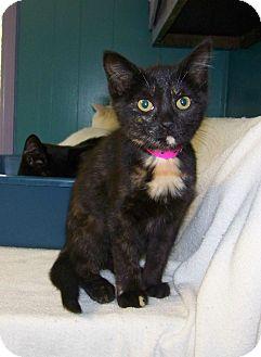 Domestic Shorthair Kitten for adoption in Dover, Ohio - Talula