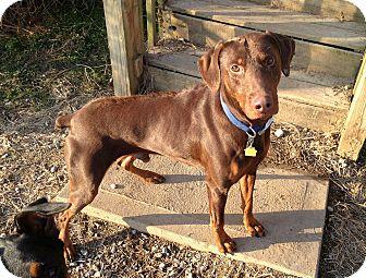 Doberman Pinscher Dog for adoption in New Richmond, Ohio - Rocco