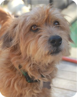 Terrier (Unknown Type, Small) Mix Dog for adoption in Norwalk, Connecticut - Lily