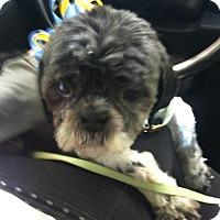 Adopt A Pet :: OREO - Birmingham, MI