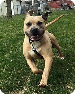 American Bulldog/Terrier (Unknown Type, Medium) Mix Dog for adoption in Detroit, Michigan - Harley-Adopted!