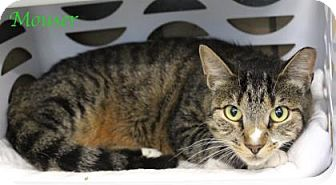 Domestic Shorthair Cat for adoption in Bradenton, Florida - Mouser