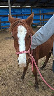 Quarterhorse Mix for adoption in Hitchcock, Texas - Whisper