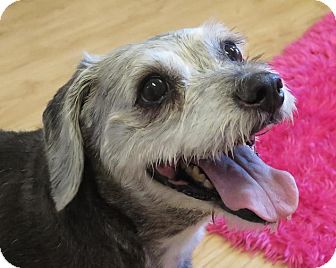 Schnauzer (Standard)/Poodle (Standard) Mix Dog for adoption in High Point, North Carolina - Jillian