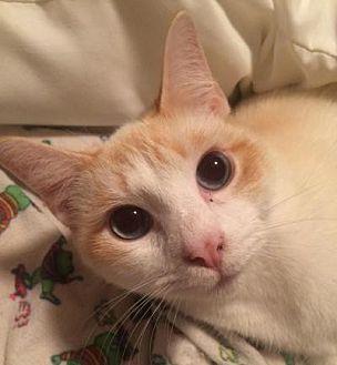 Siamese Cat for adoption in Kingwood, Texas - Nemo
