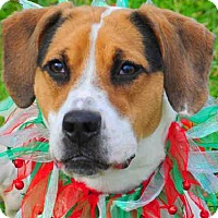 Beagle Mix Dog for adoption in Louisville, Kentucky - DAISY
