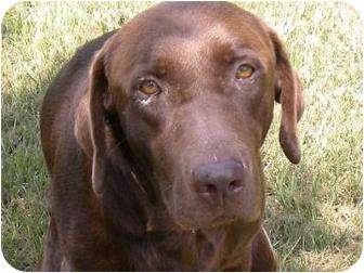 Labrador Retriever Dog for adoption in Altmonte Springs, Florida - Tanner