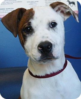 American Pit Bull Terrier Mix Puppy for adoption in Red Bluff, California - Acer
