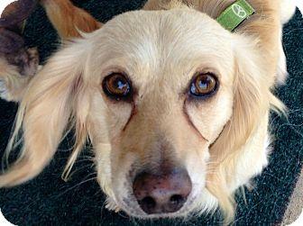 Dachshund Mix Dog for adoption in San Diego, California - Dunkin