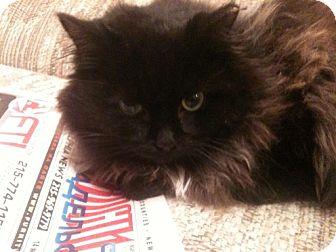 Persian Cat for adoption in Trevose, Pennsylvania - Kooza