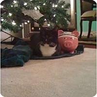 Adopt A Pet :: Socks - Mobile, AL