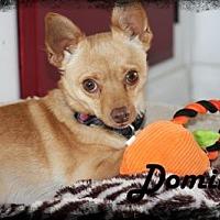 Adopt A Pet :: Domino - Anaheim Hills, CA