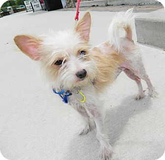 Terrier (Unknown Type, Small) Mix Dog for adoption in Umatilla, Florida - Prince
