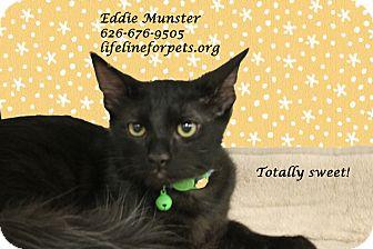 Domestic Shorthair Kitten for adoption in Monrovia, California - A Kitten Boy: EDDIE MUNSTER