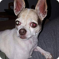 Chihuahua Mix Dog for adoption in Dayton, Ohio - Clairece