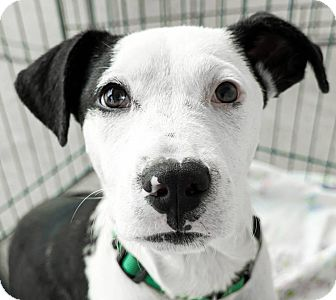 Pit Bull Terrier/Carolina Dog Mix Puppy for adoption in Red Lion, Pennsylvania - Jackson